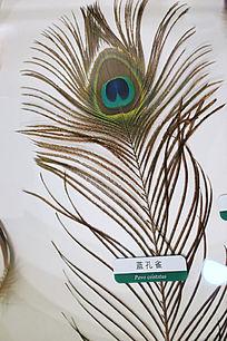 蓝孔雀羽毛
