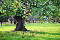 草坪上的大树