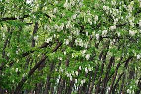 春天的槐树