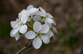 淡雅清新的梨花