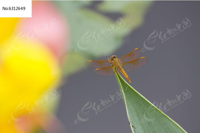 黄色粉色美人蕉后的蜻蜓图片