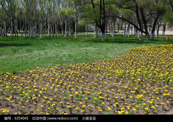 孔雀草花丛图片