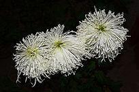 冷艳的白色菊花