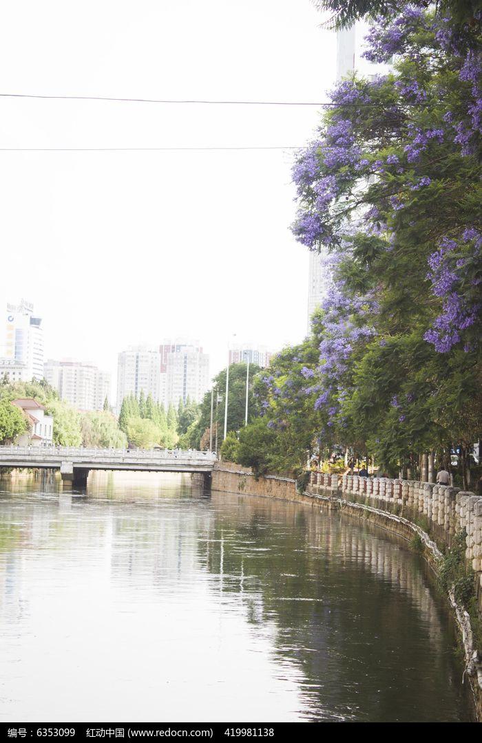 满是蓝花楹的河边图片