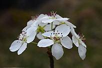 色彩斑谰的梨花