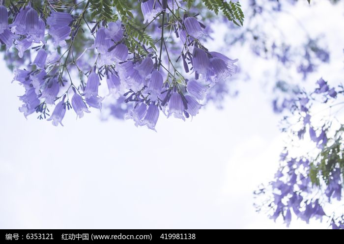天空下的蓝花楹图片