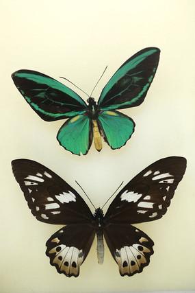 印度尼西亚国蝶绿鸟翼凤蝶蝴蝶标本