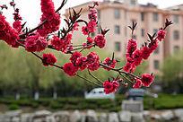 河边桃花盛开