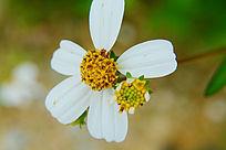美丽的小野菊