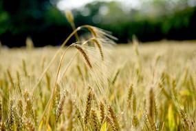 成熟的大麦麦穗