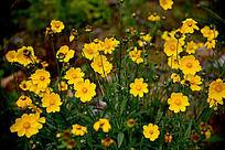 金黄金鸡菊
