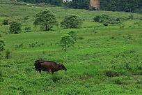 在草地上吃草的牛