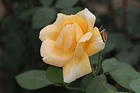 淡黄色的月季花