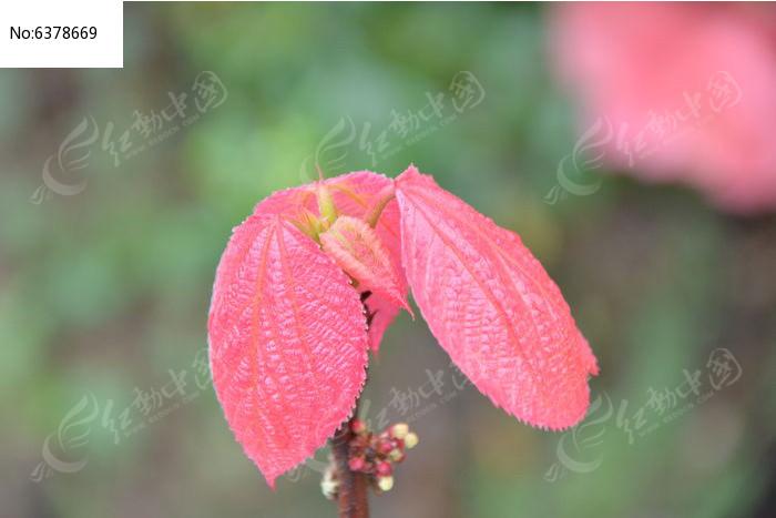几片红色叶子图片
