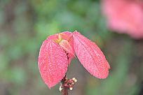 几片红色叶子