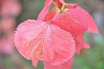 几片红叶子