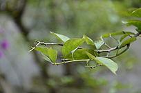 绿油油的叶子