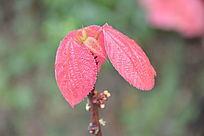 树枝上的红色叶子