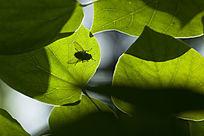 叶子上的苍蝇