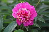 一朵美丽的芍药花