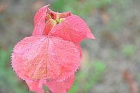 雨后的叶子