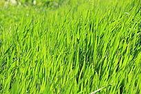 绿色青草地