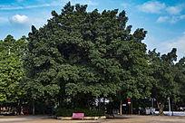 迷幻天空下墨绿的大树