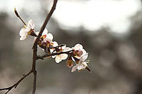 意境唯美的桃花