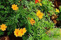 黄色小菊花卉