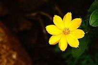 黄色小野菊花