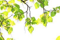 透明的叶子