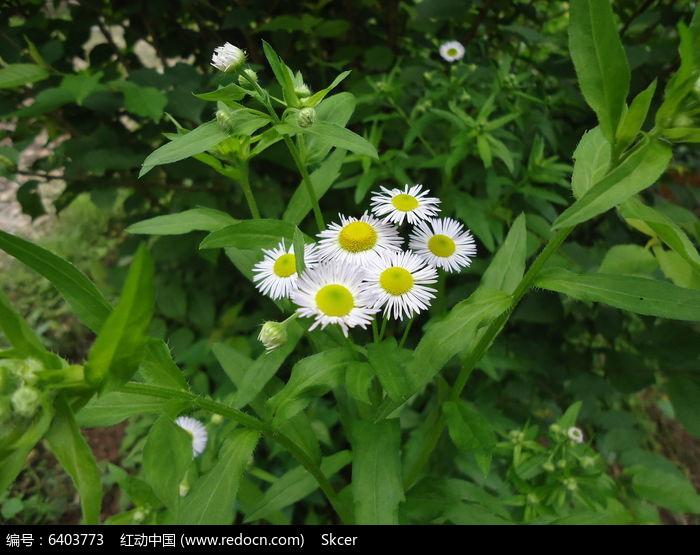 一从雏菊图片