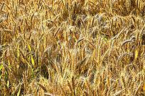 成熟的小麦麦穗