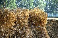 打捆的小麦