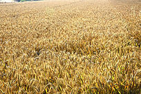 等待收割的小麦