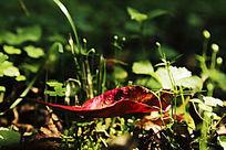 绿色草地上的红色叶子