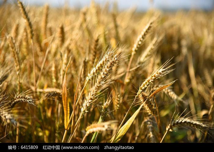 小麦穗高清图片