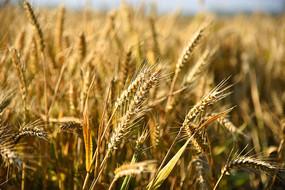 小麦穗高清