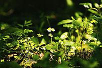 阳光下的四叶草