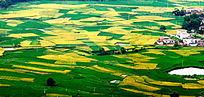 里仁盆地万亩稻田