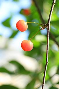 枝上的樱桃