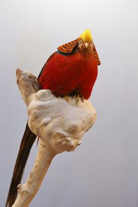 珍稀鸟类黄冠红鸡标本