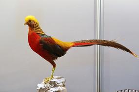 珍稀鸟类黄冠红鸡的标本