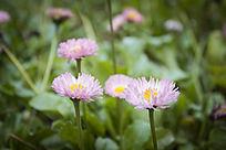 草地里的一片粉色小花朵