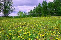 开满黄花的树林