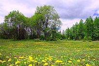 树林草甸蒲公英