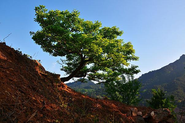 万仙山罗姐寨山坡上青绿色的山楂树