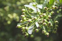 阳光下的一串绿色小果子