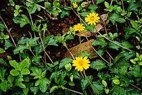 雏菊花草植物