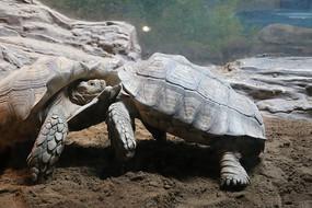 打架的两只陆地乌龟